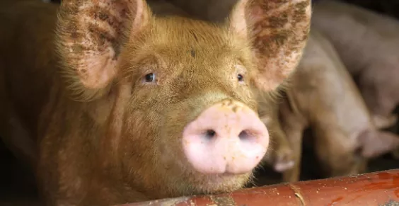 夏季怀孕母猪怎么养?想要保证母猪健康,这几点养猪人要知道!
