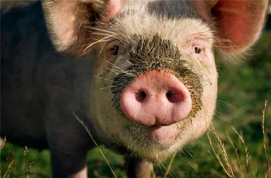 养猪技术:母猪怀孕前后打疫苗详解,你做对了吗?