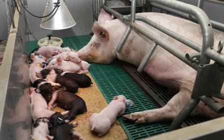 淘汰母猪需要注意哪些事项?如何科学的淘汰母猪?