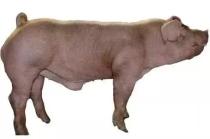 为什么公猪和母猪不能养在一起?
