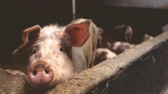 进口猪肉激增致猪价下行?专家:事实并非那么简单