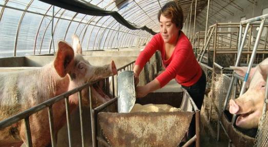 母猪膘情不合理,该如何搭配饲料营养?母猪膘情的合理范围又是多少?