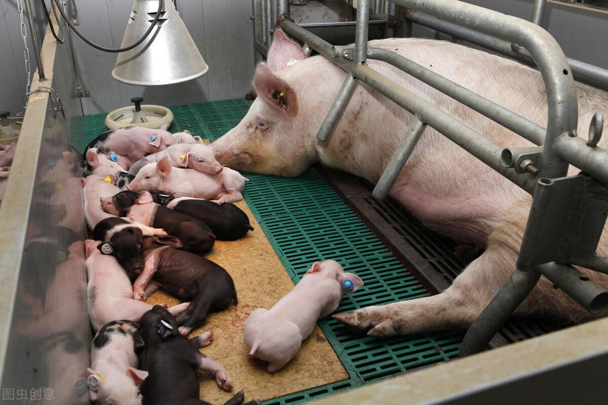 从母猪经常配不上种,到平均窝产15头,养猪达人教你技术
