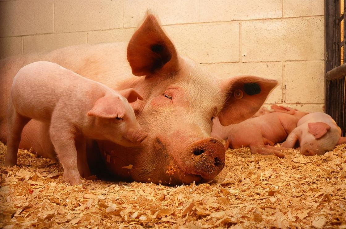 哺乳母猪的支链氨基酸需求,重点关注缬氨酸!主要为了优化哺乳期和仔猪生产性能
