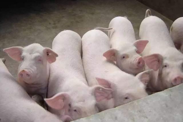 猪的光生物学——猪如何感觉不同的光质,适合什么光照环境?
