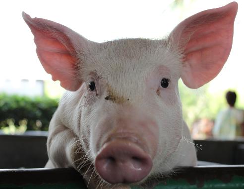 """""""跌跌不休""""猪价连跌5个月因素有哪些?养殖场户该怎么做?"""