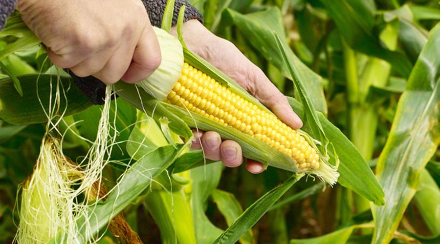 需求低迷制约,造成玉米进入下行通道