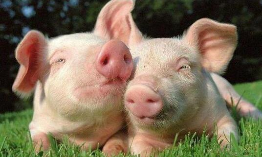 如何看待猪肉价格波动的趋势?今年猪粮比已经低于过5:1了......