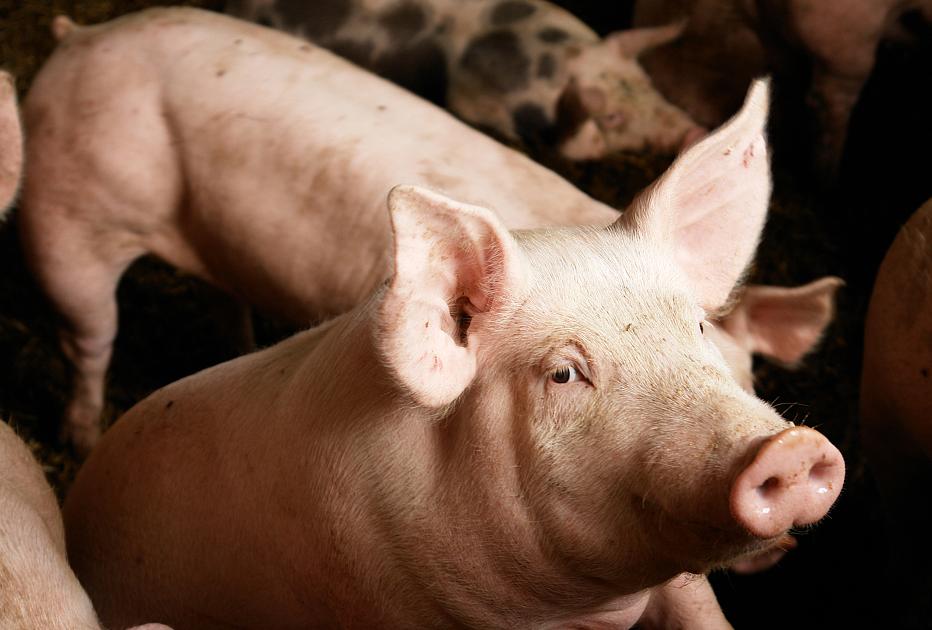 急转弯!2天回落7.35%,猪价暴涨暴跌,究竟是为何?养殖户该何去何从?