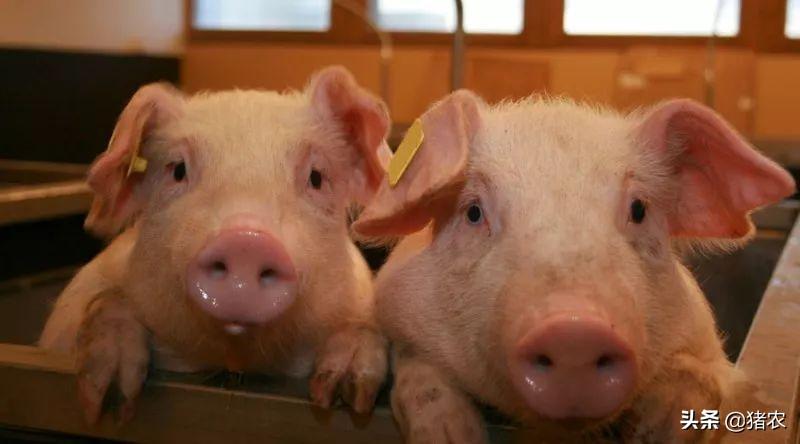 养猪市场行情差,散户养猪该如何避免被淘汰?生存之道在哪?