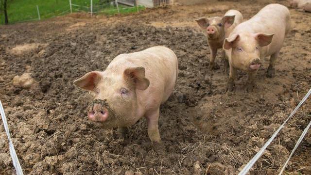"""""""谷贱伤农"""",""""肉贱""""伤害了谁?猪肉价格大跌亮起了警报!"""