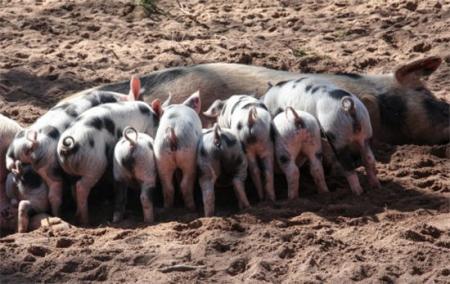 为何猪价波动那么大?心态不好的不建议养!