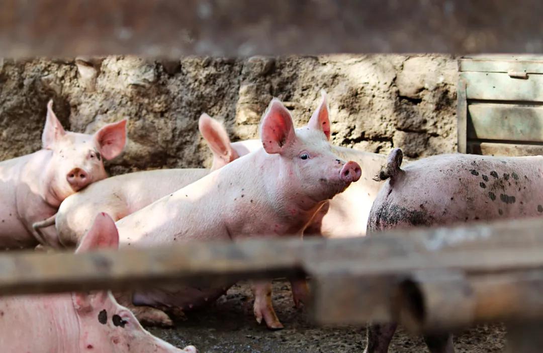 新形势下生猪养殖业:规模化养猪大势所趋,智能养殖乘风而来