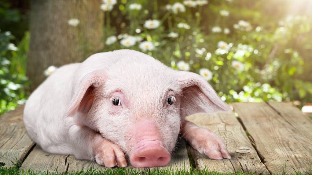 7月5日10公斤仔猪价格,收储托市,猪价或将企稳,仔猪市场如何?