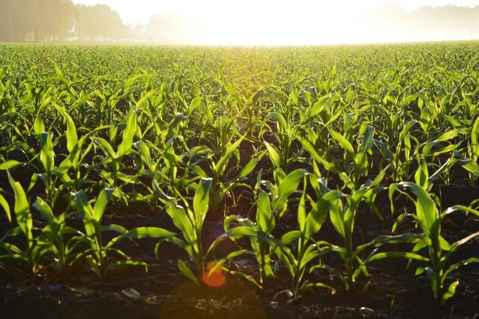 国家农作物品种审定委员会:国家级玉米品种审定标准
