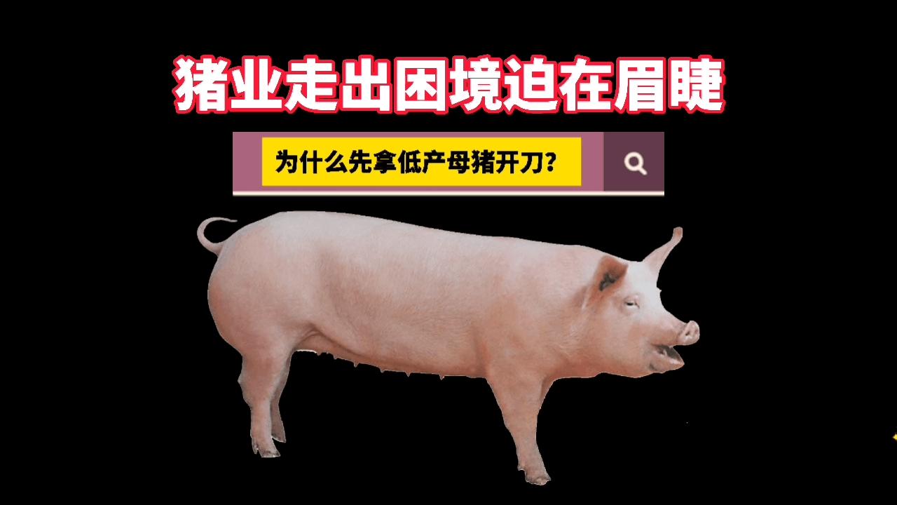 猪价跌幅超60%,养殖场户急需破局,为什么先拿低产母猪开刀?