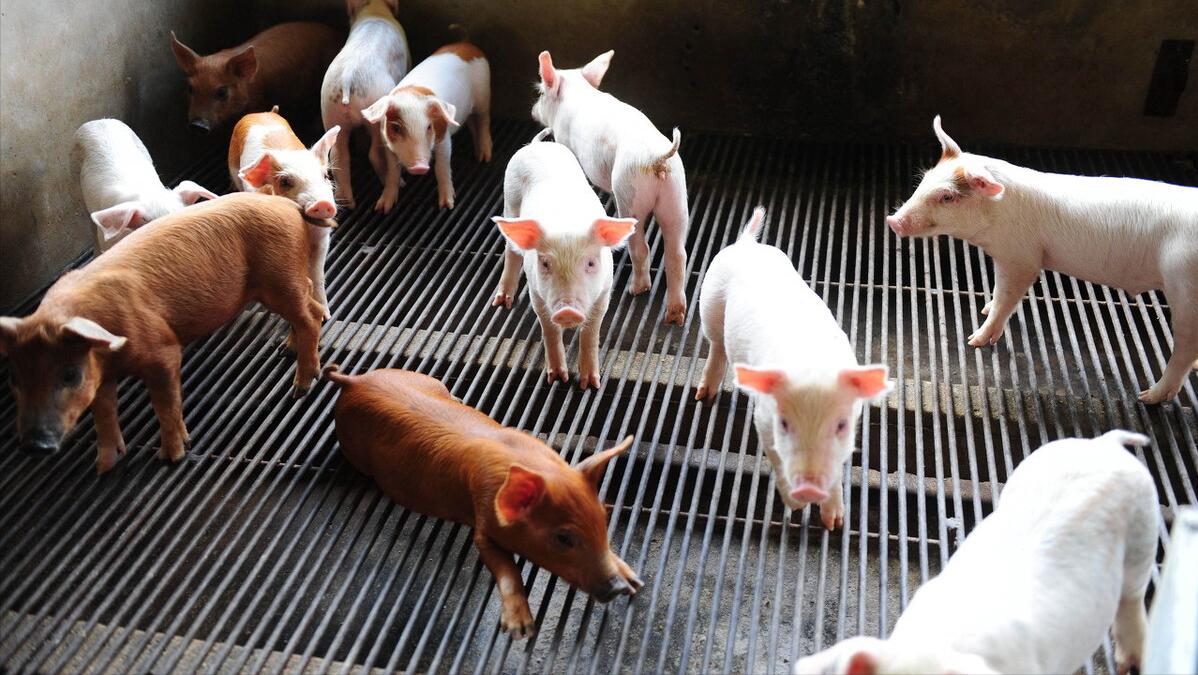 7月7日20公斤仔猪价格,仔猪价格连跌14周,现阶段补栏是靠谱的?