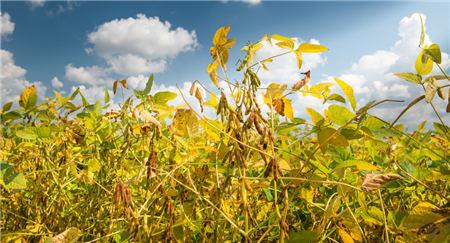 """收储""""一脚定江山""""稳价作用凸显,下半年国产大豆市场购销如何走?"""
