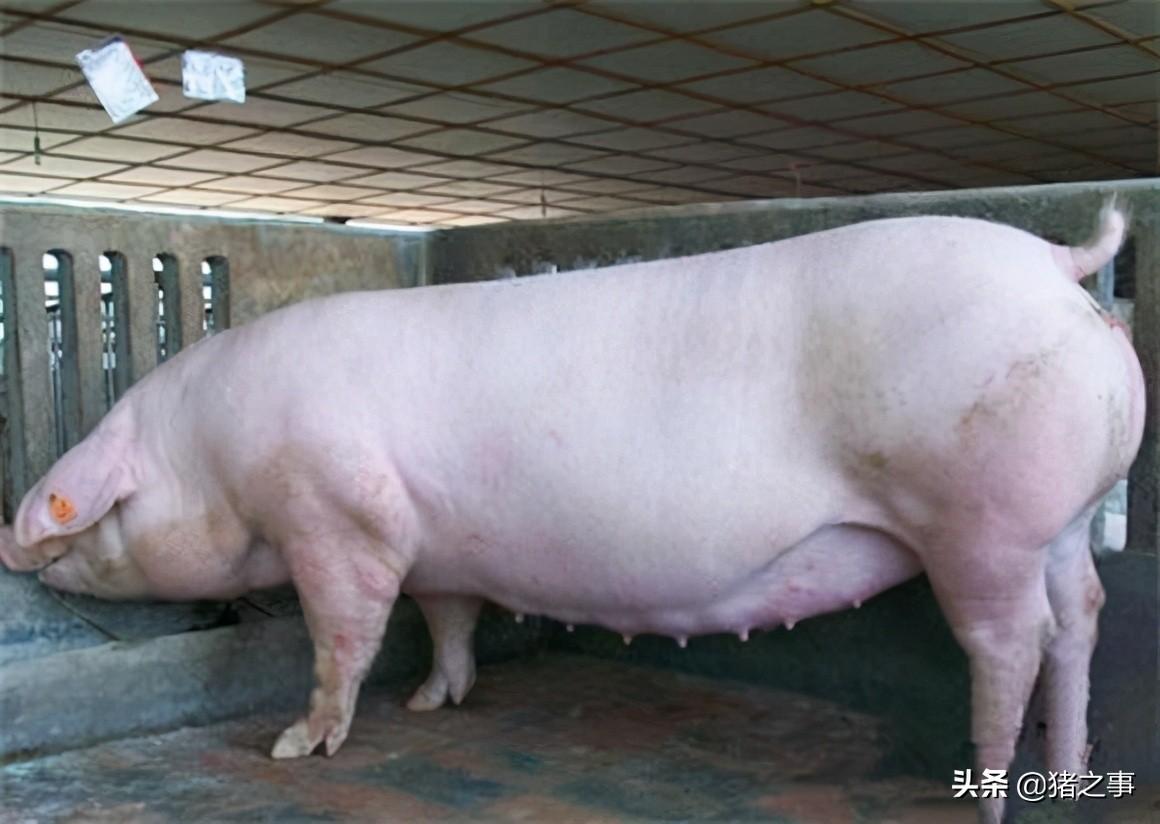 告诉你母猪发情配种的最佳时机,原来是这个时候,你知道吗?