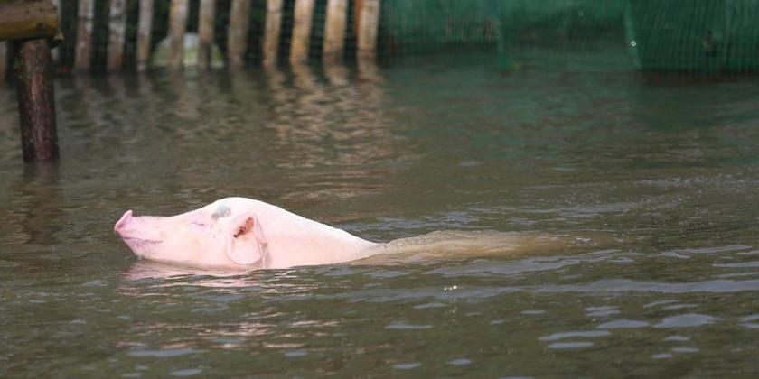 """四川、湖北、湖南强降雨频发对生猪市场影响几何?哪省""""非""""抬头?"""