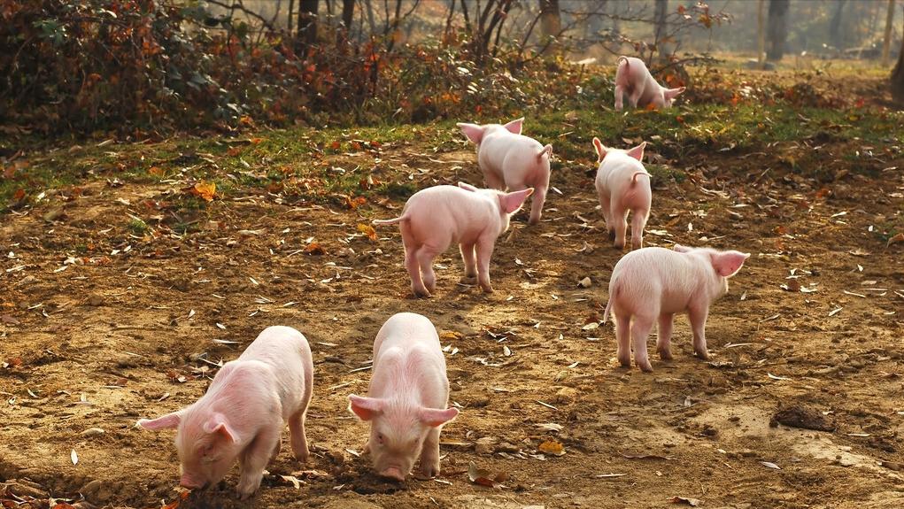 7月9日15公斤仔猪价格,一头仔猪最低200,养户可以趁机补栏了?
