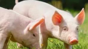 """沉迷""""养猪"""" ,天域生态设立合资孙公司加码生态牧业,想要通过养猪转型,难!"""