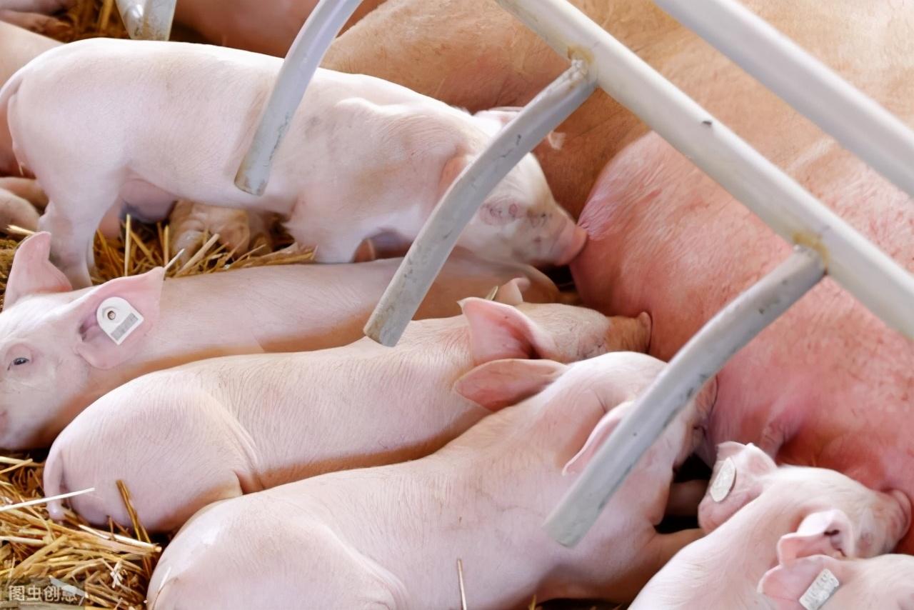 从母猪配种到出栏的四个关键时刻,学会了收益翻番不是梦