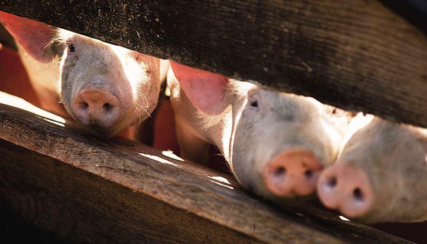 """为何将""""380万头""""确定为我省生猪产业监测的预警线?那么这条预警线是咋划出来的?"""