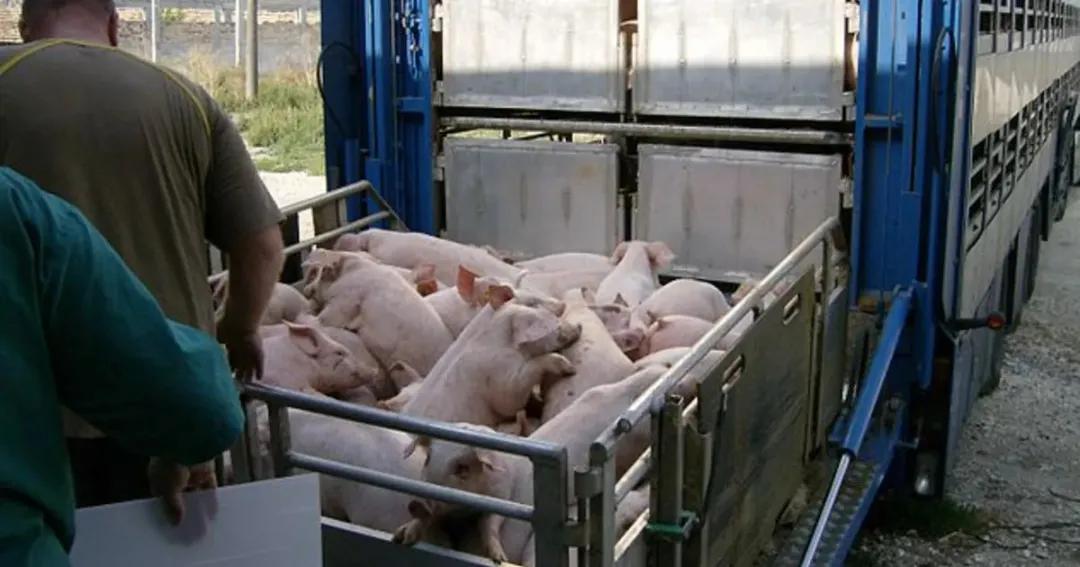 养猪大省四川疫情严重,有大量猪死亡,引起了疫情进一步?