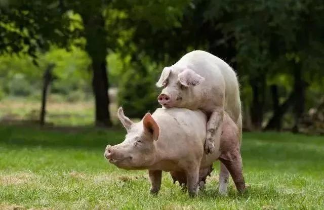 """夏季猪场""""母猪不发情""""不重视,成本增加...如何减少这种情况的出现?"""