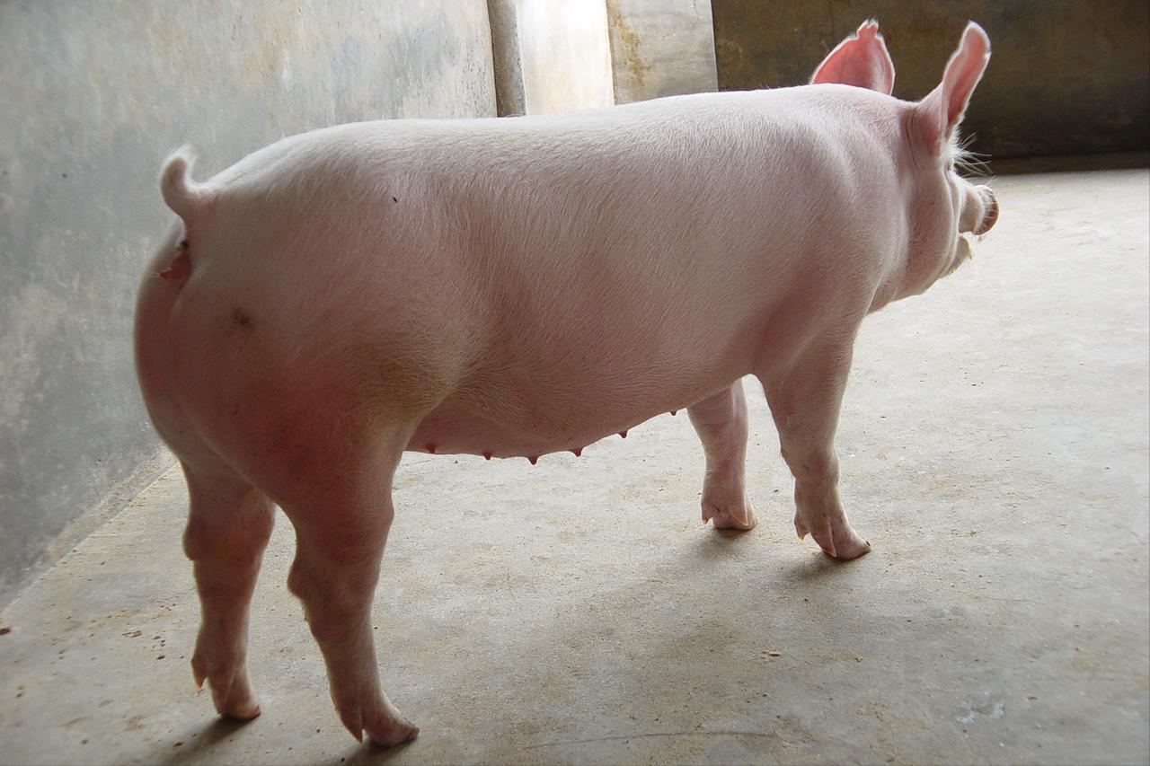 散养户养猪选择什么品种好?新手应该怎么选择?