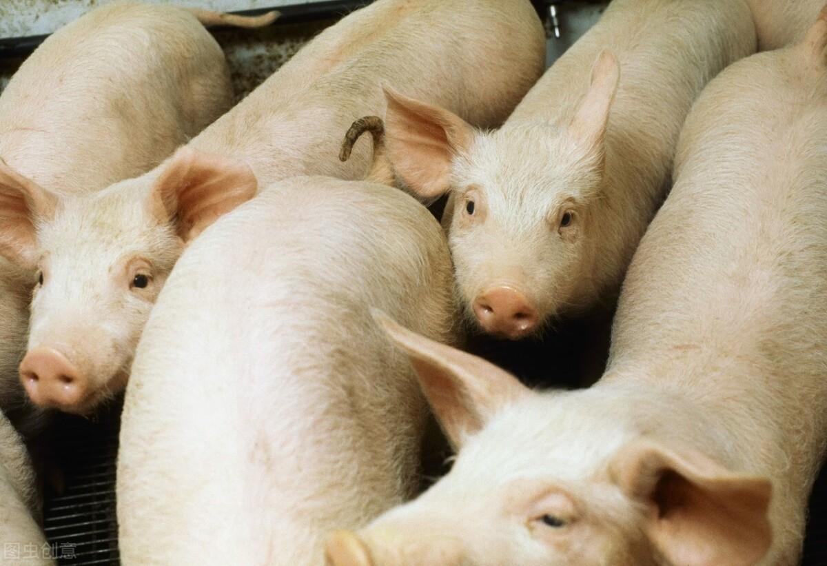 12日猪价、粮价预警:猪价刚涨,小麦玉米行情却下跌,什么情况?