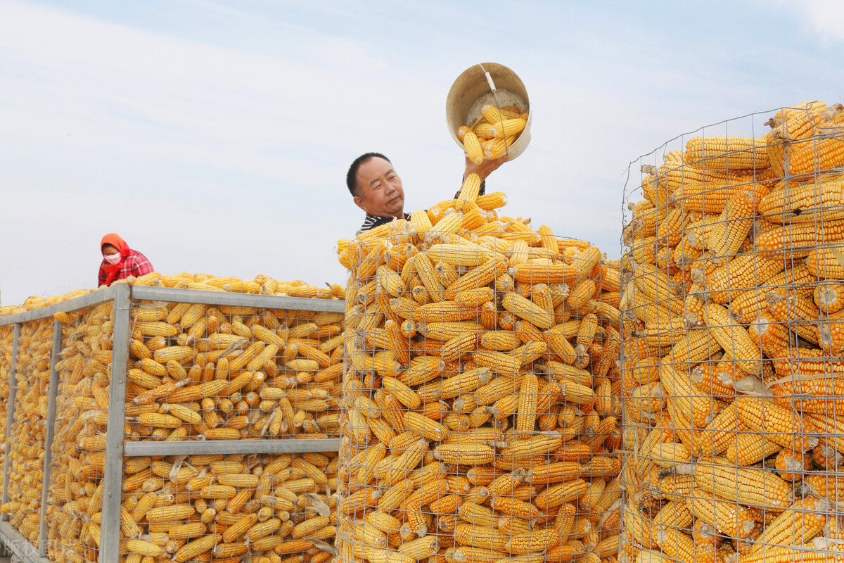 时隔1年,全球粮价首次降温,国内主粮如何?玉米、小麦价格均为下跌