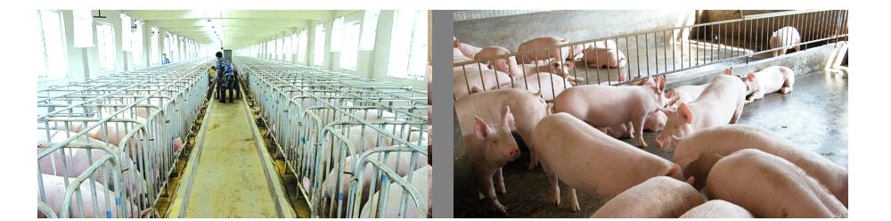 下半年猪价形势分析与建议