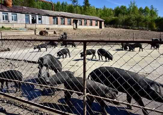 在禁养区内建猪场