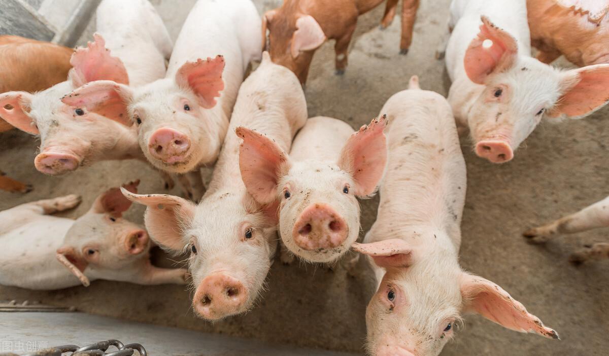 猪价8元时代或提前结束?有人淘汰高龄母猪降低风险,有人豪购仔猪,到底谁是赢家?