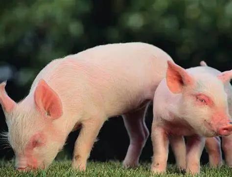 2021年上半年生猪养殖成本提高,收益降低,养殖户进入了深亏损状态!