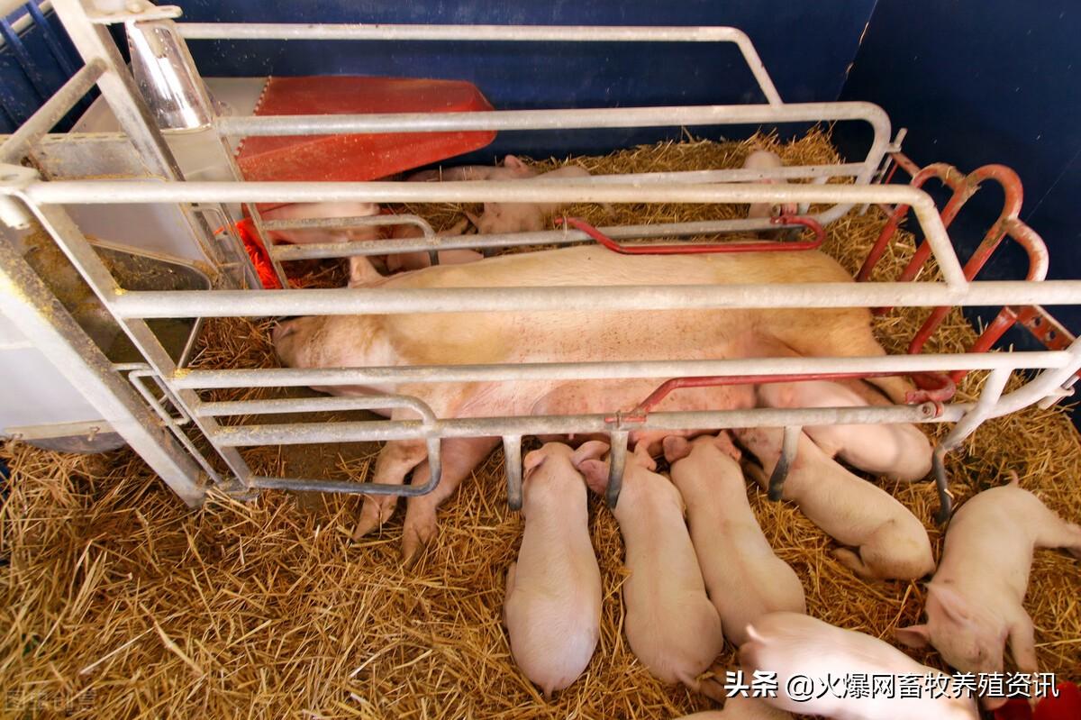母猪分娩前有哪些征兆?分娩时应该准备哪些工作?
