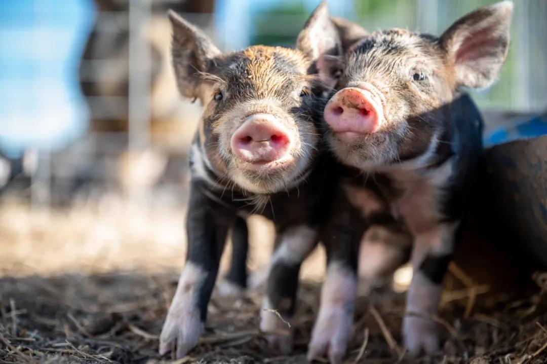 如何提高母猪发情率和受胎率?只需要一个小改变