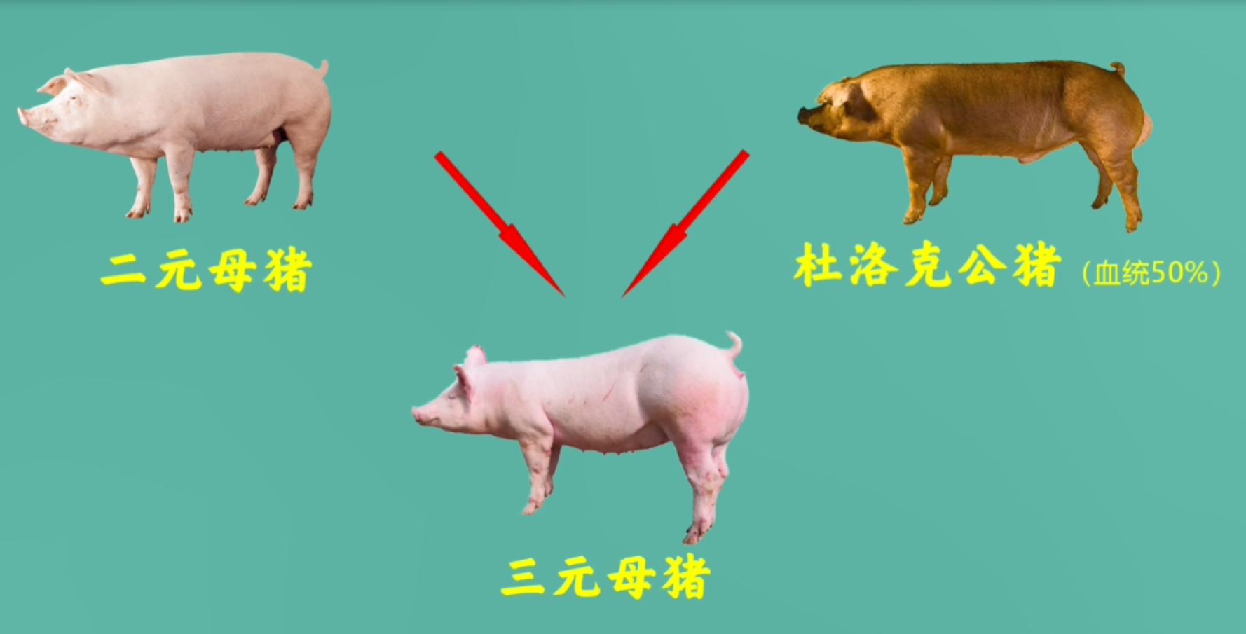 为什么各大上市猪企大量淘汰三元母猪?真正的好种猪有哪些优势?