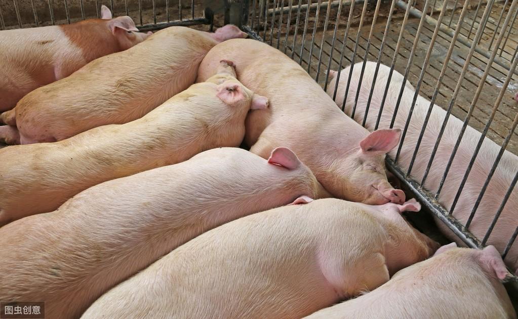 母猪怀孕40天内,这些小动作你做了吗?