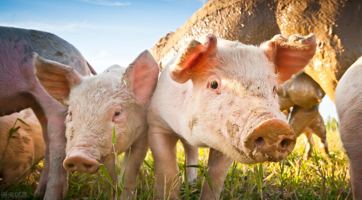 7月21-25日!猪价将全面上涨?国家出手了!全国猪价上涨幅度