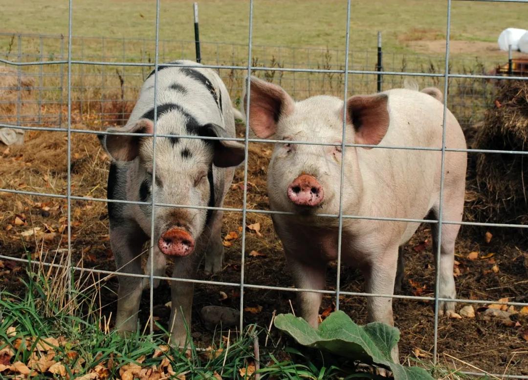 """后备母猪管理:这七件事""""绝不可妥协""""否则你肠子都悔青!"""