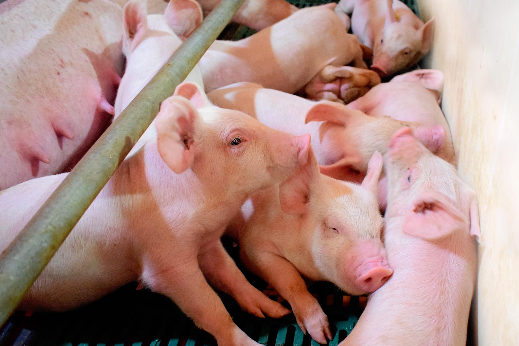 养猪行业进入寒冬期,生猪价格未来可能阶段性反弹,温氏股份:有信心恢复到应有的位置