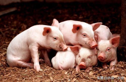 为何断奶仔猪不吃食?怎么解决断奶仔猪不吃料的问题?快来学习吧