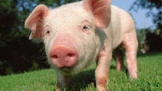 新生仔猪腹泻原因:清洗和消毒的重要性