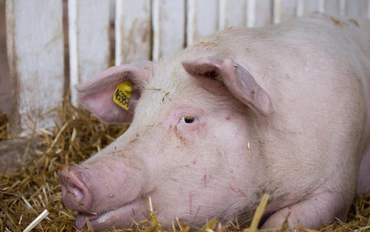 初配母猪为什么会怕人碰?母猪初次配种时,应该注意这些问题!