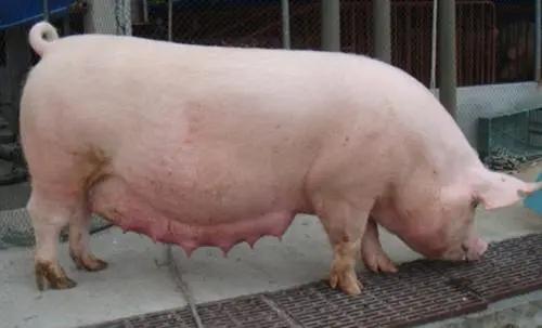 母猪早产是什么原因引起的?母猪忽然早产是怎么回事?告诉你原因是啥!
