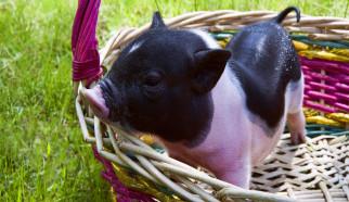应激专栏(五) | 断奶应激对断奶仔猪的影响及其缓解方法探讨