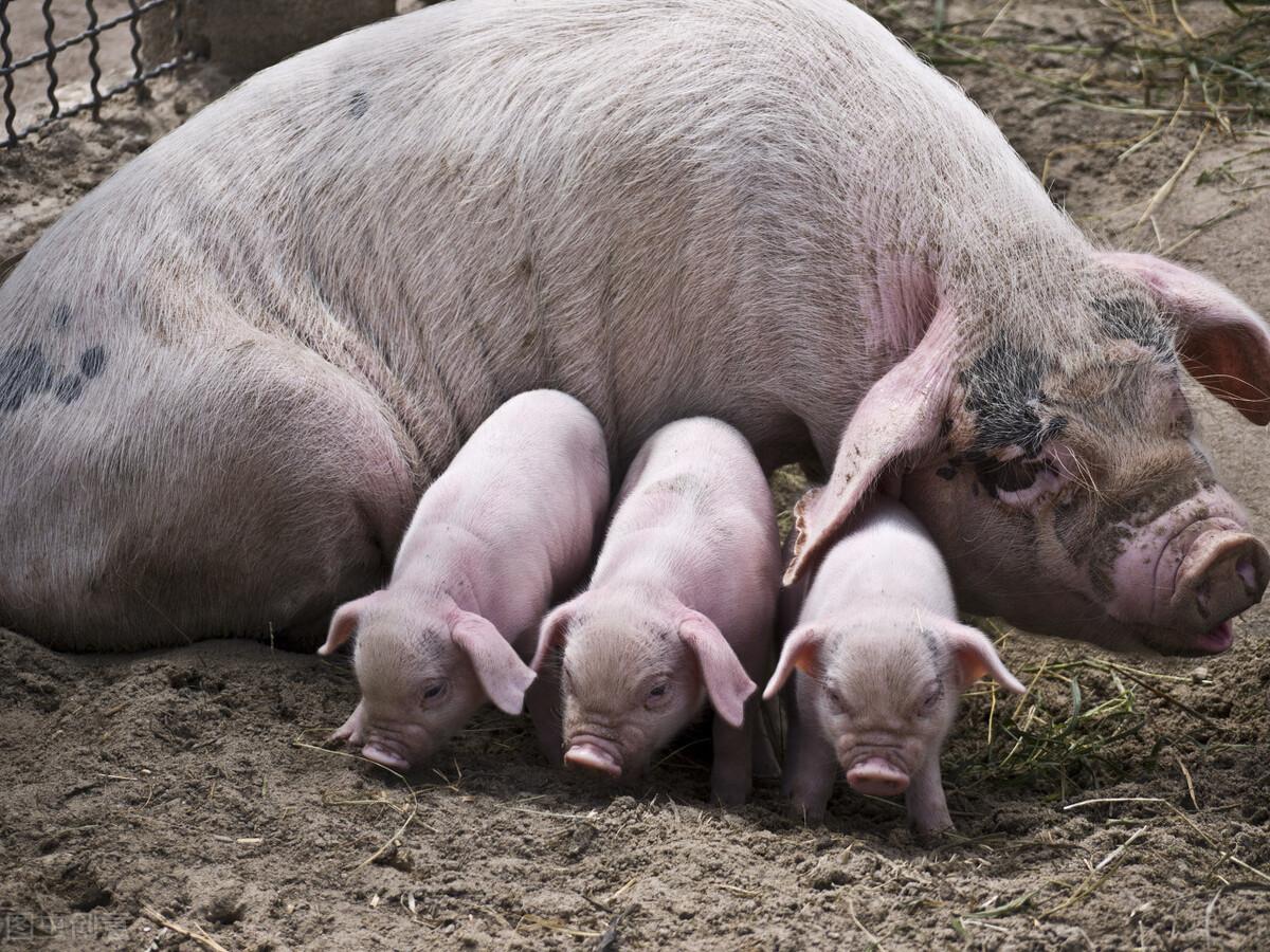 产仔多的母猪后代也产仔多吗?有哪些办法能让母猪多产仔?